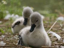 Baby swans, Cygnets, sitting and preening. Front cygnet close up, in focus royalty free stock photography