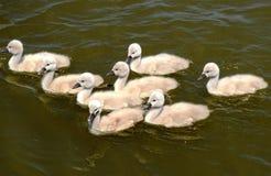 Baby swans. Enjoying beautiful day at the river royalty free stock photos