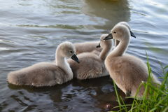 Baby swans, hatchlings, little chicks. Swan family. Little hatchlings in the small pond Royalty Free Stock Photos