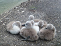 Baby swans Stock Photos