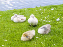 Baby swans by lake royalty free stock images
