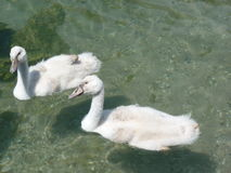 Baby swans Stock Photos
