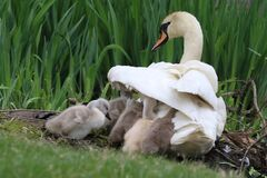 Free Baby Swans Sheltering Under The Wing Of Their Mother Royalty Free Stock Image - 182716996