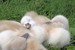 Baby Swans Sleeping Stock Photography