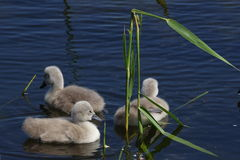 Baby swans. Three baby swans swimming in a circle Stock Images