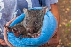 Baby sweet Wombat stock image