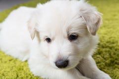 Baby swiss shepherd Royalty Free Stock Images
