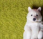 Baby swiss shepherd Royalty Free Stock Photos