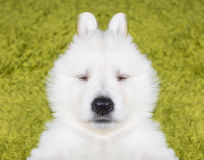 Baby swiss shepherd Royalty Free Stock Photo