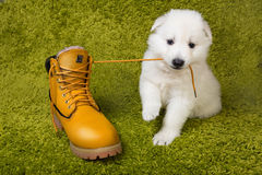 Baby swiss shepherd playing royalty free stock images
