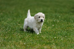 Baby swiss shepherd sitting Royalty Free Stock Photography