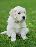 Baby swiss shepherd sitting Royalty Free Stock Images