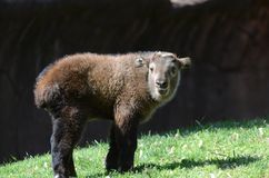 Baby takin. A male baby takin standing in the grass Stock Photos