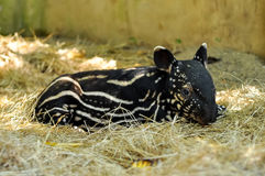 Baby tapir Stock Photography