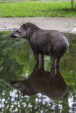Baby tapir standing in the puddle with reflection royalty free stock photo