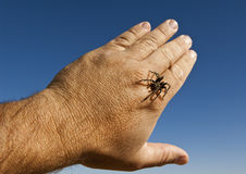 Baby Tarantula on hand Royalty Free Stock Photography