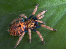 Baby Tarantula on leaf Stock Photo