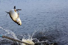Baby tarpon (Megalops atlanticus) jumping Stock Images