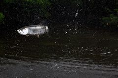 Baby tarpon (Megalops atlanticus) jumping and splashing Stock Image