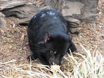 Baby Tasmanian Devil Stock Photos