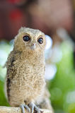 Baby Tawny Owl Stock Images