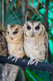 Baby tawny owls Stock Photography