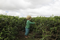 Little tea picker Stock Photos