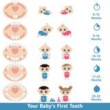 Baby teething chart Stock Image