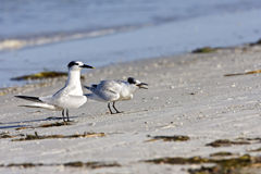 A baby Tern calling for food. A baby Sandwich Tern screaming for food from his mother Stock Photos