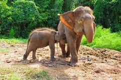 Baby Thai Elephant Nursing Stock Photo