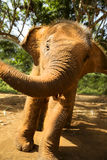 Baby Thai Elephant. Young rescue elephant at the Patara Elephant Farm in Chiang Mai, Thailand Royalty Free Stock Images