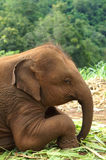 Baby-thailändische Elefanten Stockfotos
