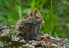 Baby of thrush 2 Stock Photography