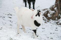 Baby tibetan dwerggeit in de sneeuw Royalty-vrije Stock Fotografie