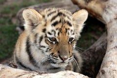 Baby Tiger. Cute baby siberian tiger hiding behind a tree log stock image