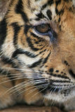Baby Tiger. Face Close up royalty free stock image