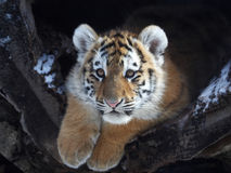 Baby tiger stock photography