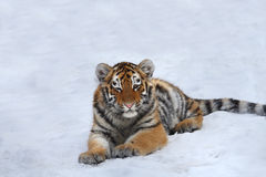 Baby tiger. The little cute tiger is looking at me stock images