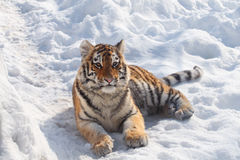 Baby tiger. This baby tiger is lying on the snow stock photo