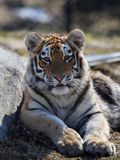 Baby tiger. The baby tiger is looking at me stock photo