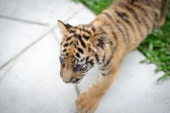 Baby tiger. Is running very cute stock photo