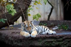 Baby tiger Stock Images