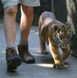 Baby Tiger and Handler Royalty Free Stock Photo