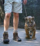 Baby Tiger and Handler Stock Photo