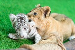 Baby tiger and baby lion Stock Photos