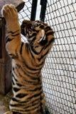 Baby tiger Royalty Free Stock Photos