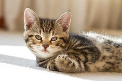 Baby Tiger Looking Kitten Royalty Free Stock Images