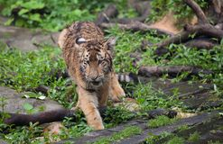 Baby tiger. A lovely baby tiger,outside stock photo