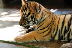 Baby tiger. A baby tiger lying outside stock images