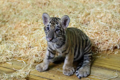 Baby tiger. A new born baby tiger royalty free stock photography